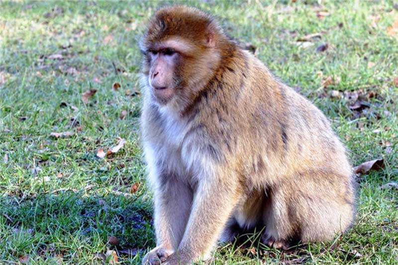 bir maymun cinsi - Bir maymun cinsi - Bir maymun cinsi